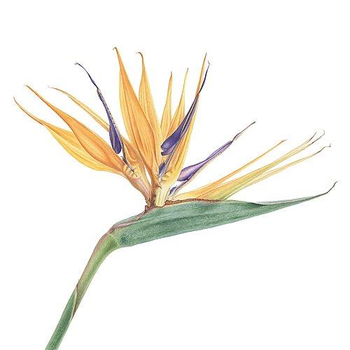 Strelitzia reginae. Remembering Uccello