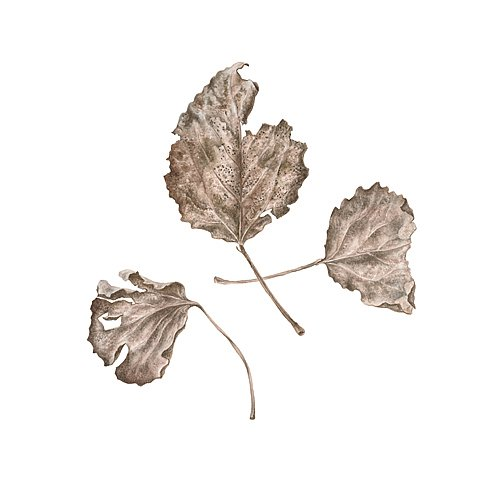Fragile beauty: aspen leaves
